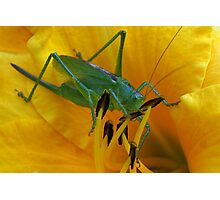 Green grasshopper inside in yellow lily Photographic Print