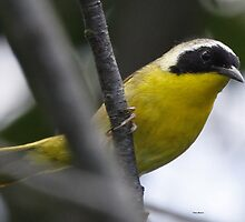 Yellowthroat by Dennis Cheeseman