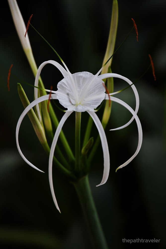 Spider Lily by thepathtraveler