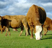 Field of contented brown cows grazing by John Butterfield