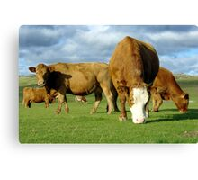 Field of contented brown cows grazing Canvas Print