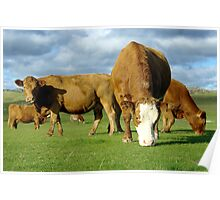 Field of contented brown cows grazing Poster