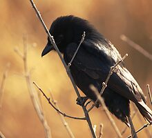 Fork Tail Drongo - Sabi Sands by Bassy