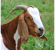 Billy Goat Photographic Print