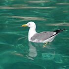 Seagull on turquoise sea (common black backed gull) by John Butterfield