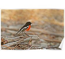 Foraging Scarlet Robin Poster