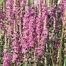 Purple Loosestrife- Lythrum salicaria  by Tracy Wazny