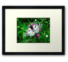 American Apollo Butterfly ~  Framed Print