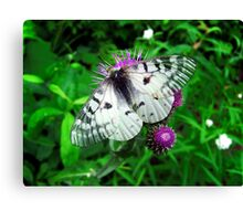 American Apollo Butterfly ~  Canvas Print