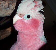 Pink and Grey Galah. Bailey.... by Toni Kane