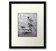 two mallard ducks standing in water Framed Print