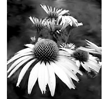 Monotone Cone Flowers with Smear!! Photographic Print
