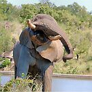 NOT WOW! The African Elephant behaviour when in musk by Magaret Meintjes