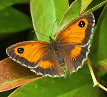 The Gatekeeper (Pyronia tithonus) by Steve  Liptrot