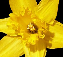 Daffodil in Bloom by vette