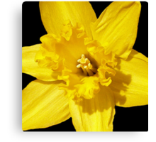 Daffodil in Bloom Canvas Print