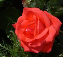 Scented Rose by SteveKeller