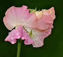 Sweet, Sweet Pea by Dorothy Thomson