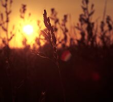 Sunset between the grasses by Matt Sillence
