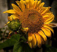 Sunny Sunflower by moor2sea