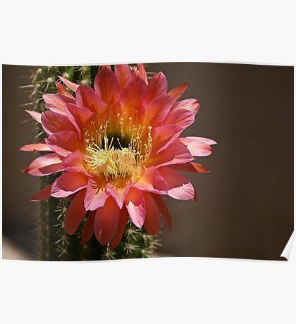 Desert Flower in Tucson Poster