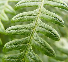 Close-up of a Fern Leaf by Jonathan McColl