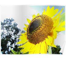 Gleaming Sunflower Poster
