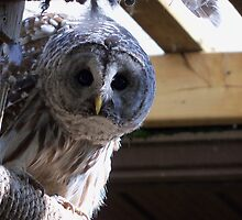 Curious Barred Owl by paranoidpanic