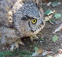 Big Momma Great Horned Owl by paranoidpanic