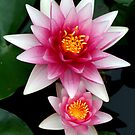 Stacked Blooms  Pink and White Water lilies by mikrin