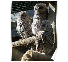 Three Barred Owls Poster