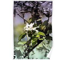 apple blossoms 11 Poster
