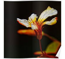 Oxalis blossom Poster