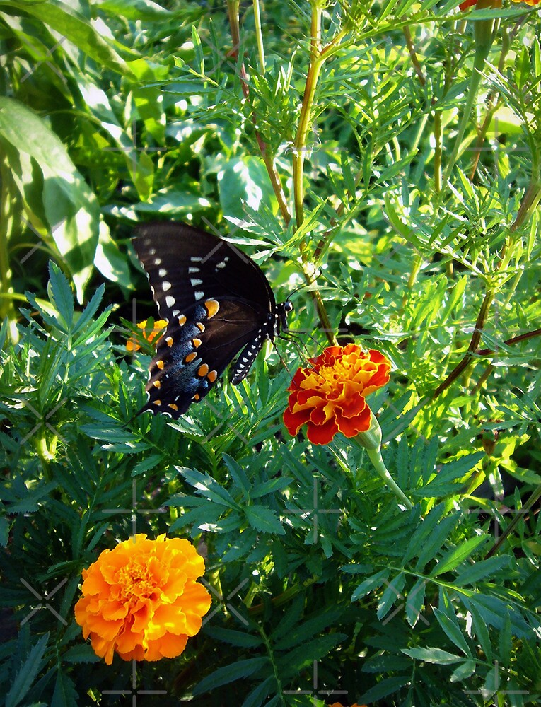 Black Swallowtail Butterfly by FrankieCat