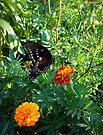 Black Swallowtail Butterfly by Susan S. Kline