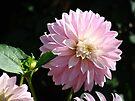 Dahlia Flower Garden art prints Pink Dahlias Floral by BasleeArtPrints