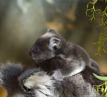 Koala Mum and Bub by Sandra Chung