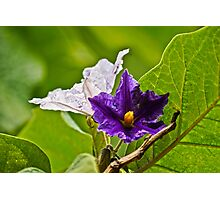 Aubergine Flower Photographic Print