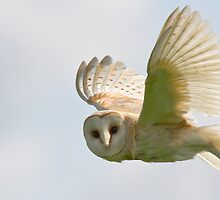 Barn Owl by rhallam