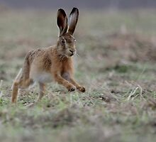 Brown Hare by rhallam