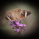 Incredibly Beautiful Buckeye by rasnidreamer