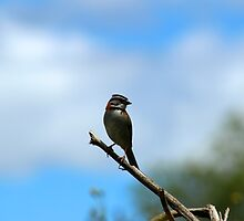 Rufous Collared Sparrow by rhamm