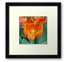 tulip in the garden Framed Print