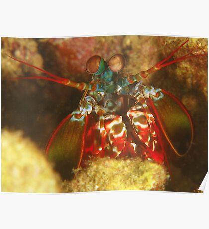 Kabaira Mantis Shrimp Poster