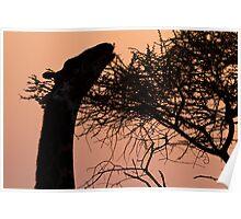 Sunrise Giraffe Poster