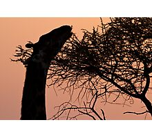 Sunrise Giraffe Photographic Print