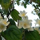 sweet white blossom by LisaBeth
