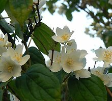 tree blossoms ( who knows the name..please~) by LisaBeth
