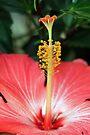 Hibiscus by RebeccaBlackman