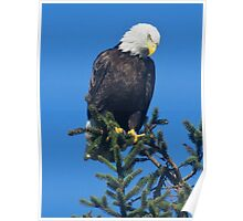 American Bald Eagle Topper Poster